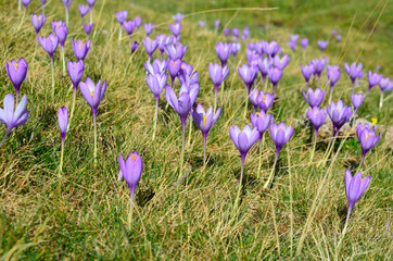 Autumn crocuses in the Pyrenees