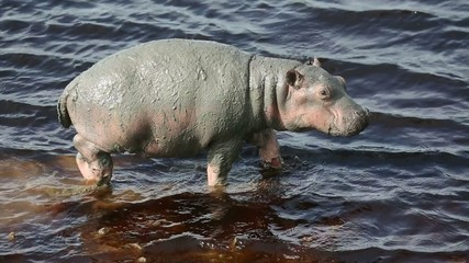 young hippo in river