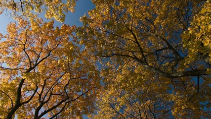 Autumn leaves against blue sky background. Trees.