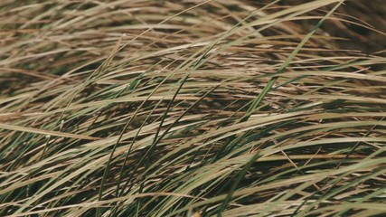Long dry grass. Autumn. Wind. Closeup.