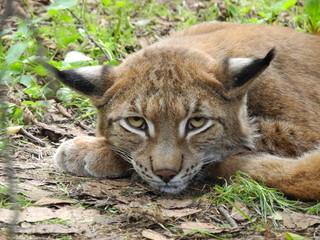 Schau mir in die Augen - Wildkatze