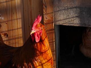 hen farm free range