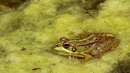 Common frog, in garden pond edge and jumping at end