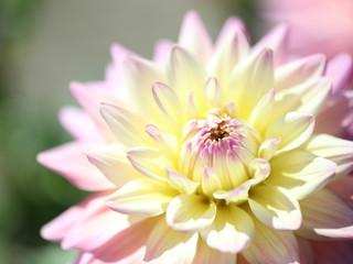ダリア‐白い花