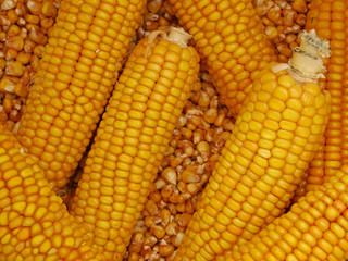 Maisernte, Maiskolben und Maiskörner