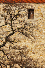 Tree in city - branches agains old brick wall