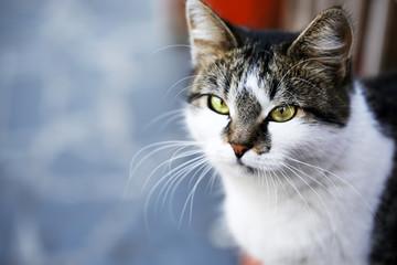 Gray cat close-up, outdoors