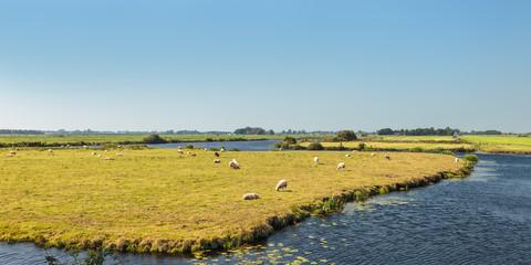 Grazing sheep between water in The Netherlands