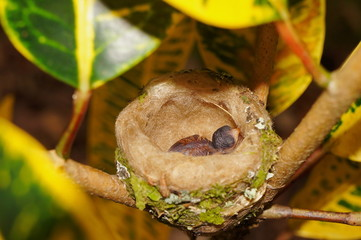 Baby hummingbird in nest Costa Rica