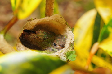 Baby hummingbird of Rufous tailed in nest
