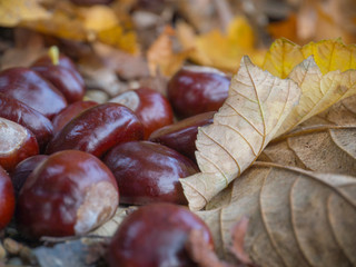 chestnut and dry leaf on autumn street