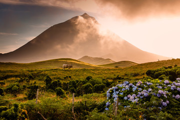 Huge bull in front of volcano Pico-Azores