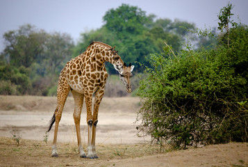 Forward leaning giraffe with oxpeckers