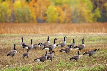 Canada geese in a field