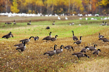 Canadian and Snow geese in the field