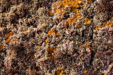 Curry and beige lichen on a cliff in Madeira.