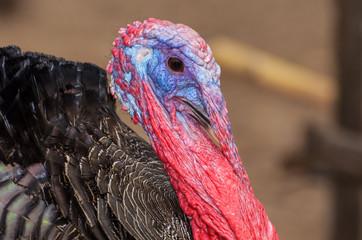 Closeup head of male wild turkey