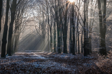 Icy morningsun through the leafs of National Park the Veluwe