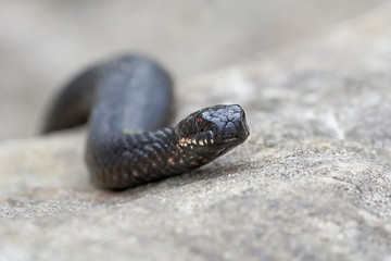 Common European Adder (vipera berus)