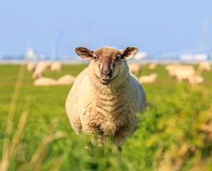 A droll ruminating sheep