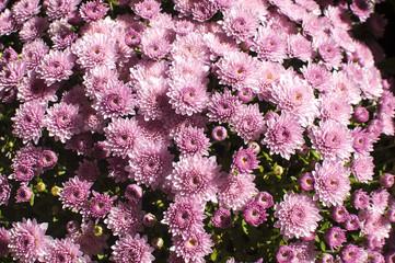Purple chrysanthemums closeup as background to sunlight