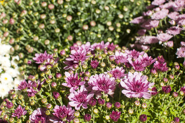 Purple chrysanthemums closeup as background to sunlight