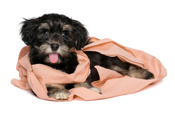 Funny black and tan havanese puppy is playing with toilet paper