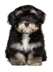Beautiful cute  little havanese puppy is sitting frontal
