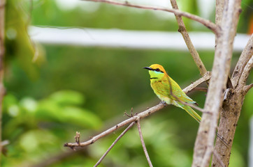Little Green Bee Eater bird