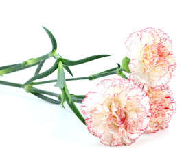 Pink carnations isolated on white background.