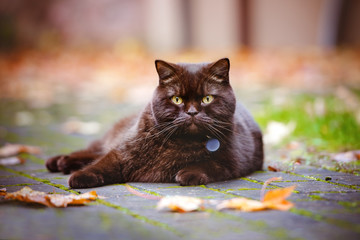 beautiful brown british shorthair cat lying down outdoors