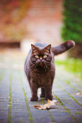 curious british shorthair cat outdoors