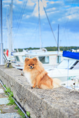 Pomeranian puppy redhead on the beach