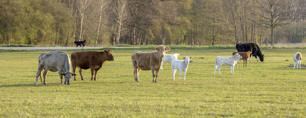 cows at the meadow