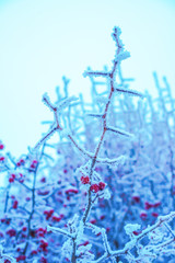 Branches of trees and red berries covered with snow in frost at