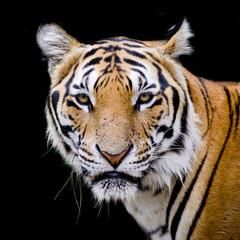 Buscar fotos tigre de bengala - Construcciones benjoal ...