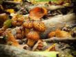 Shiitake mushroom growing on trees