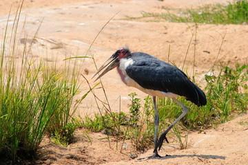 uccello marabù sudafrica