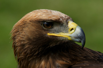Close-up of turned head of golden eagle