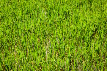Rice paddy field close up