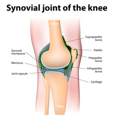 Synovial bursa of the human knee