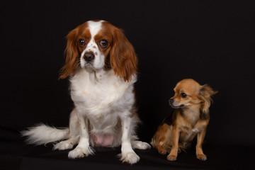 chiens zen