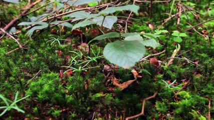 Green moss macro close up detail in the forest