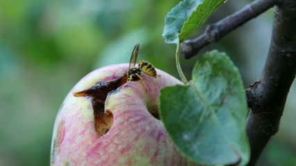 Wasp eating an apple