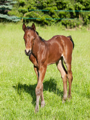 Portrait of youn foal on pasture