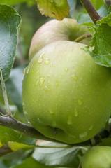 pommes sur arbre