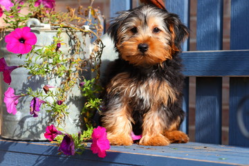 Yorkshire Terrier puppy sitting on bench with flowers