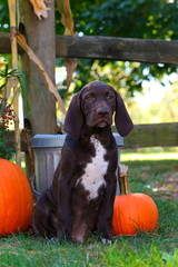 German Short Haired Pointer puppy sitting along fence row