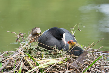 Eurasian coot with duckling