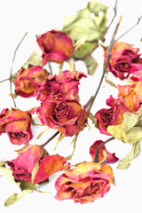 Whithered roses on white background.